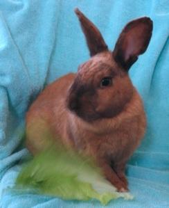 Adoptable Rabbit, Escondido Humane Society, EHS,