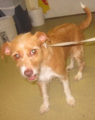 Adult Spayed Female, Terrier Mix, Escondido Humane Society