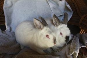 Adoptable Rabbits, Bunnies, Escondido Humane Society