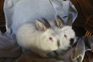 Adoptable Rabbits, Bunnies, Escondido Humane Society