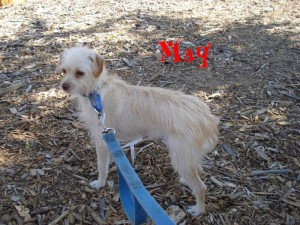 May, young, terrier, puppy, small, dog, Escondido Humane Society