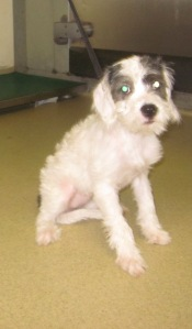 Female, Puppy, Terrier, Escondido Humane Society