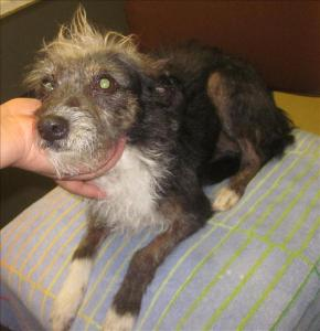 Terrier, Dog, Escondido Humane Society
