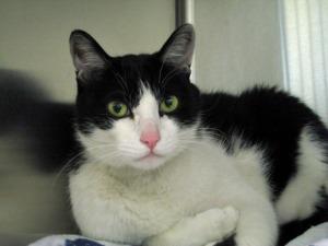 Adoptable senior cat, black and white