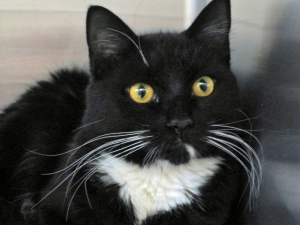 adoptable cat, young, black and white